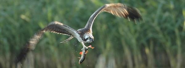 © Inselhotel Brückentinsee. Eine Vielzahl von heimischen Fischen leben im Brückentinsee.